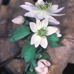 Flowers: Thalictrum thalictroides. ~ By Lucien Taylor. ~ Copyright © 2020 New England Wild Flower Society. ~ Image Request, images[at]newenglandwild.org