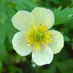 Flowers: Trollius laxus. ~ By Arthur Haines. ~ Copyright © 2020. ~ arthurhaines[at]wildblue.net