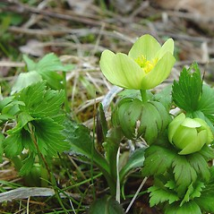 Flowers: Trollius laxus. ~ By Arthur Haines. ~ Copyright © 2021. ~ arthurhaines[at]wildblue.net