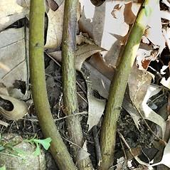 Bark: Ceanothus americanus. ~ By Arieh Tal. ~ Copyright © 2020 Arieh Tal. ~ www.nttlphoto.com ~ Arieh Tal - www.nttlphoto.com