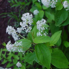 Flowers: Ceanothus americanus. ~ By Arthur Haines. ~ Copyright © 2021. ~ arthurhaines[at]wildblue.net