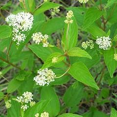 Leaves: Ceanothus americanus. ~ By Arieh Tal. ~ Copyright © 2020 Arieh Tal. ~ www.nttlphoto.com ~ Arieh Tal - www.nttlphoto.com