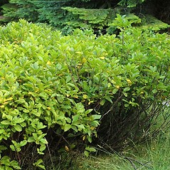 Plant form: Rhamnus alnifolia. ~ By Ben Legler. ~ Copyright © 2019 Ben Legler. ~ mountainmarmot[at]hotmail.com ~ U. of Washington - WTU - Herbarium - biology.burke.washington.edu/herbarium/imagecollection.php