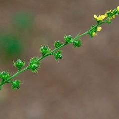 Flowers: Agrimonia gryposepala. ~ By Paul S. Drobot. ~ Copyright © 2019 Paul S. Drobot. ~ www.plantstogrow.com, www.plantstockphotos.com ~ Robert W. Freckmann Herbarium, U. of Wisconsin-Stevens Point