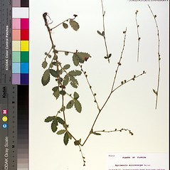Plant form: Agrimonia microcarpa. ~ By Florida State University Godfrey Herbarium. ~ Copyright © 2019 CC BY-NC-SA 3.0. ~  ~ Morphbank - Biological Imaging - www.morphbank.net