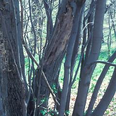 Bark: Amelanchier arborea. ~ By William Cullina. ~ Copyright © 2020 William Cullina. ~ bill[at]williamcullina.com