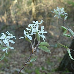 Flowers: Amelanchier arborea. ~ By Arthur Haines. ~ Copyright © 2020. ~ arthurhaines[at]wildblue.net
