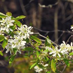 Flowers: Amelanchier arborea. ~ By William Cullina. ~ Copyright © 2021 William Cullina. ~ bill[at]williamcullina.com