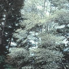 Plant form: Amelanchier arborea. ~ By William Cullina. ~ Copyright © 2021 William Cullina. ~ bill[at]williamcullina.com