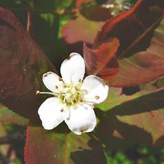 Flowers: Amelanchier bartramiana. ~ By Donna Kausen. ~ Copyright © 2021 Donna Kausen. ~ 33 Bears Den, Addison, ME 04606