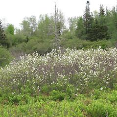 Plant form: Amelanchier canadensis. ~ By Marilee Lovit. ~ Copyright © 2019 Marilee Lovit. ~ lovitm[at]gmail.com