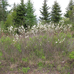 Plant form: Amelanchier canadensis. ~ By Marilee Lovit. ~ Copyright © 2021 Marilee Lovit. ~ lovitm[at]gmail.com