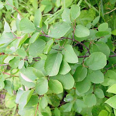 Plant form: Amelanchier gaspensis. ~ By Arthur Haines. ~ Copyright © 2020. ~ arthurhaines[at]wildblue.net