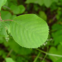 Leaves: Amelanchier gaspensis. ~ By Arthur Haines. ~ Copyright © 2021. ~ arthurhaines[at]wildblue.net