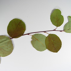 Leaves: Amelanchier gaspensis. ~ By Donald Cameron. ~ Copyright © 2021 Donald Cameron. ~ No permission needed for non-commercial uses, with proper credit