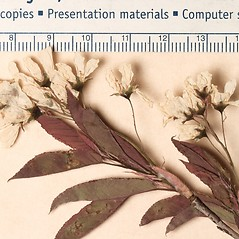 Flowers: Amelanchier intermedia. ~ By Harvard University Herbaria. ~ Copyright © 2019 Harvard University Herbaria. ~ Requests for image use not currently accepted by copyright holder ~ Harvard U. Herbaria