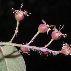 Fruits: Amelanchier intermedia. ~ By Steven Baskauf. ~ Copyright © 2020 CC-BY-NC-SA. ~  ~ Bioimages - www.cas.vanderbilt.edu/bioimages/frame.htm