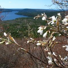 Plant form: Amelanchier intermedia. ~ By Donna Kausen. ~ Copyright © 2020 Donna Kausen. ~ 33 Bears Den, Addison, ME 04606