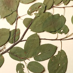 Leaves: Amelanchier intermedia. ~ By Harvard University Herbaria. ~ Copyright © 2019 Harvard University Herbaria. ~ Requests for image use not currently accepted by copyright holder ~ Harvard U. Herbaria