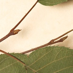 Winter buds: Amelanchier intermedia. ~ By Harvard University Herbaria. ~ Copyright © 2019 Harvard University Herbaria. ~ Requests for image use not currently accepted by copyright holder ~ Harvard U. Herbaria