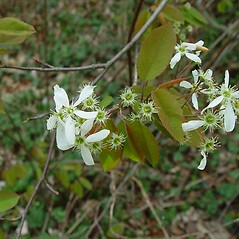 Flowers: Amelanchier laevis. ~ By Arthur Haines. ~ Copyright © 2020. ~ arthurhaines[at]wildblue.net