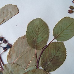 Leaves: Amelanchier sanguinea. ~ By Arthur Haines. ~ Copyright © 2021. ~ arthurhaines[at]wildblue.net