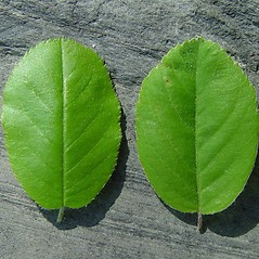 Comparison: Amelanchier spicata. ~ By Arthur Haines. ~ Copyright © 2021. ~ arthurhaines[at]wildblue.net