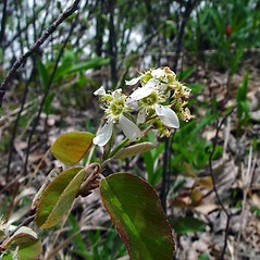 Flowers: Amelanchier spicata. ~ By Arthur Haines. ~ Copyright © 2021. ~ arthurhaines[at]wildblue.net