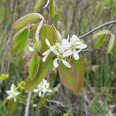 Flowers: Amelanchier spicata. ~ By Donald Cameron. ~ Copyright © 2021 Donald Cameron. ~ No permission needed for non-commercial uses, with proper credit
