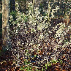 Plant form: Amelanchier spicata. ~ By Arthur Haines. ~ Copyright © 2021. ~ arthurhaines[at]wildblue.net