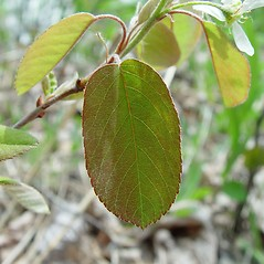 Leaves: Amelanchier spicata. ~ By Arthur Haines. ~ Copyright © 2021. ~ arthurhaines[at]wildblue.net