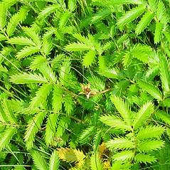Plant form: Argentina egedii. ~ By Arthur Haines. ~ Copyright © 2021. ~ arthurhaines[at]wildblue.net