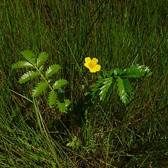 Plant form: Argentina egedii. ~ By Arthur Haines. ~ Copyright © 2020. ~ arthurhaines[at]wildblue.net