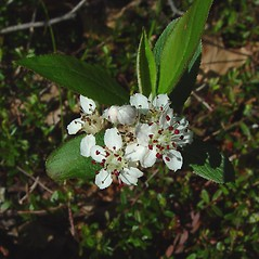 Flowers: Aronia floribunda. ~ By Arthur Haines. ~ Copyright © 2020. ~ arthurhaines[at]wildblue.net