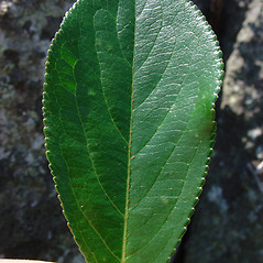 Leaves: Aronia floribunda. ~ By Glen Mittelhauser. ~ Copyright © 2020 Glen Mittelhauser. ~ www.mainenaturalhistory.org