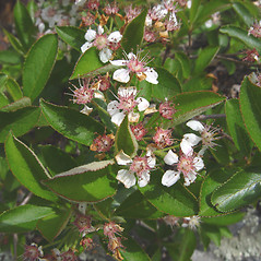 Flowers: Aronia melanocarpa. ~ By Donald Cameron. ~ Copyright © 2020 Donald Cameron. ~ No permission needed for non-commercial uses, with proper credit