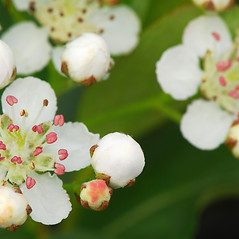 Flowers: Aronia melanocarpa. ~ By William Cullina. ~ Copyright © 2020 William Cullina. ~ bill[at]williamcullina.com