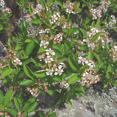 Plant form: Aronia melanocarpa. ~ By Donald Cameron. ~ Copyright © 2020 Donald Cameron. ~ No permission needed for non-commercial uses, with proper credit