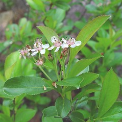 Leaves: Aronia melanocarpa. ~ By Arthur Haines. ~ Copyright © 2020. ~ arthurhaines[at]wildblue.net