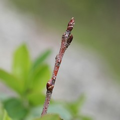 Winter buds: Aronia melanocarpa. ~ By Arieh Tal. ~ Copyright © 2021 Arieh Tal. ~ http://botphoto.com/ ~ Arieh Tal - botphoto.com