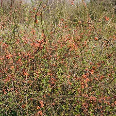 Plant form: Chaenomeles japonica. ~ By Robert Vid_ki. ~ Copyright © 2019 CC BY-NC 3.0. ~  ~ Bugwood - www.bugwood.org/