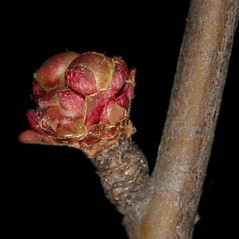 Winter buds: Chaenomeles japonica. ~ By Robert Vid_ki. ~ Copyright © 2021 CC BY-NC 3.0. ~  ~ Bugwood - www.bugwood.org/