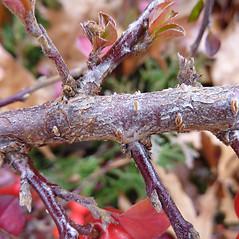Bark: Cotoneaster divaricatus. ~ By Jill Weber. ~ Copyright © 2020 Jill Weber. ~ jillweber03[at]gmail.com