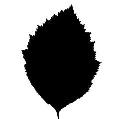 Leaves: Crataegus asperifolia. ~ By Arthur Haines. ~ Copyright © 2021. ~ arthurhaines[at]wildblue.net