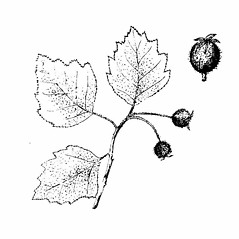 Fruits: Crataegus biltmoreana. ~ By Julian A. Steyermark. ~ Copyright © 2020. ~ Allison Brock, Allison.Brock[at]mobot.org ~ Steyermark, Julian A. 1963. The Flora of Missouri. The Iowa State U. Press, Ames, IA. 1725pp.