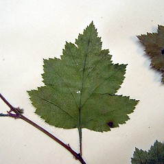 Leaves: Crataegus biltmoreana. ~ By Arthur Haines. ~ Copyright © 2020. ~ arthurhaines[at]wildblue.net