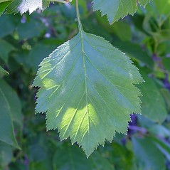 Leaves: Crataegus chrysocarpa. ~ By Arthur Haines. ~ Copyright © 2020. ~ arthurhaines[at]wildblue.net