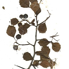 Plant form: Crataegus chrysocarpa. ~ By Missouri Botanical Garden. ~ Copyright © 2021 CC-BY-NC-SA. ~  ~ Tropicos, Missouri Botanical Garden - www.tropicos.org