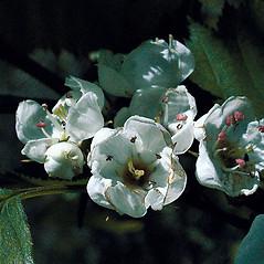 Flowers: Crataegus coccinea. ~ By Andrew Nelson. ~ Copyright © 2019 Andrew Nelson. ~ andrew.nelson[at]oswego.edu   ~ New York Flora Atlas - newyork.plantatlas.usf.edu