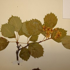 Plant form: Crataegus cyclophylla. ~ By Arthur Haines. ~ Copyright © 2021. ~ arthurhaines[at]wildblue.net